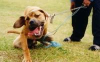 สิ่งที่ผู้เลี้ยงควรรู้ก่อนตัดสินใจเลี้ยงสุนัขสายพันธุ์ดุ!!!