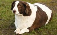 10 สายพันธุ์สุนัขที่เสี่ยงเป็นโรคอ้วน