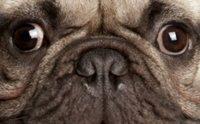 5 ปัญหาสุขภาพของหมาพันธุ์ (เล็ก) หน้าสั้น