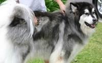 อลาสกัน มาลามิวท์ น้องหมาสายพันธุ์ที่น่ากอดที่สุด