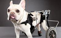 6 สาเหตุใกล้ตัวที่มักทำให้น้องหมาพิการ