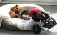 5 เคล็ดลับจัดที่นอนให้น้องหมาแก่ น้องหมาพิการ
