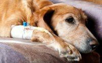 ข้อควรรู้เมื่อสุนัขป่วยเป็นมะเร็งต้องทำคีโม