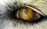 4 โรคกระจกตาที่พบได้บ่อยในน้องหมา