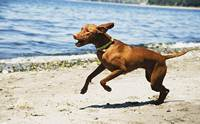 3 โรคกระดูกใน (ลูก) สุนัขพันธุ์ใหญ่ ที่ผู้เลี้ยงควรรู้ไว้
