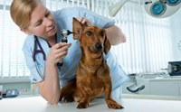 4 วิธีรับมือปัญหาช่องหูส่วนนอกอักเสบในสุนัข