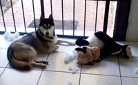 วิธีจัดการ 4 พฤติกรรมสุดแสบของน้องหมาไซบีเรียน