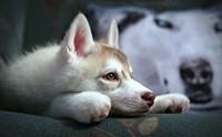 10 โรคเด่นในสุนัขพันธุ์ไซบีเรียน ฮัสกี้ ตอนที่ 1