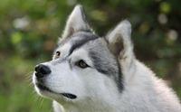 10 โรคเด่นในสุนัขพันธุ์ไซบีเรียน ฮัสกี้ ตอนที่ 2