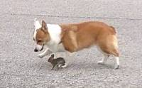 น่ารัก! น้องหมาคอร์กี้ผูกมิตรกับกระต่ายป่าตัวจิ๋ว