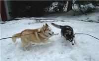 5 วิธีจัดการพฤติกรรมไฮเปอร์ของน้องหมาไซบีเรียน ฮัสกี้