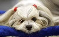 5 ปัญหาสุขภาพที่พบบ่อยในสุนัขสายพันธุ์ชิสุ