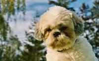 ภาวะภูมิแพ้ทางผิวหนังในน้องหมาพันธุ์ชิสุ