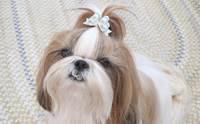 ดูแลขนน้องหมาชิสุยังไงให้สวยเป๊ะ!