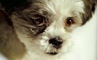 ความผิดปกติของขนตา...ปัญหาสำคัญของน้องหมาพันธุ์ชิสุ