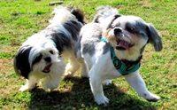 จัดการ 3 พฤติกรรม น่าหนักใจของน้องหมาชิสุ