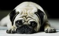 ภาวะตาแห้ง โรคที่น้องหมาปั๊กมักเป็น