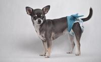 กางเกงอนามัยและโอบิสำหรับสุนัข