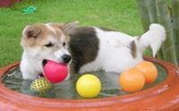 ภาพฮาๆ น้องหมาไทยบางแก้วกับอ่างน้ำส่วนตัว