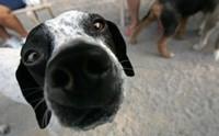 เจาะลึก!! ศาสตร์แห่งการดม สุนัขรับรู้กลิ่นโรคของคนได้อย่างไร