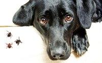 ลายม์ (Lyme disease) โรคร้ายจากเห็บ ที่คนรักสุนัขต้องเฝ้าระวัง