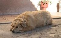 น้องหมาของเราป่วยเป็นภาวะฮอร์โมนไทรอยด์ต่ำหรือเปล่า