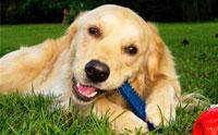 3 สาเหตุและวิธีการแก้ไขอาการชอบกัดแทะของน้องหมา