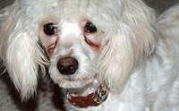 7 เคล็ดลับป้องกันและขจัดปัญหาคราบน้ำตาในสุนัข