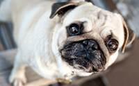 5 อุบัติเหตุใกล้ตัวที่ทำให้เกิดปัญหากับดวงตาสุนัข