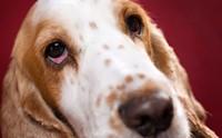 เจาะลึก 5 สาเหตุที่ทำให้น้องหมาตาแดงได้