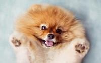 โรคต้องระวัง !! ในสุนัขพันธุ์ปอมเมอเรเนียน ตอนที่ 1