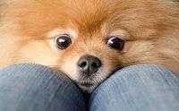 โรคต้องระวัง !! ในสุนัขพันธุ์ปอมเมอเรเนียน ตอนที่ 2