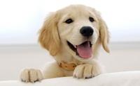 5 โรคเด่นในน้องหมาพันธุ์โกลเด้นรีทีฟเวอร์ ตอนที่ 1