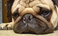 5 วิธีดูแลรอยย่นของน้องหมาขนสั้น ให้ห่างไกลโรคผิวหนัง