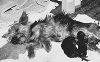 รู้จักโรคแท้งติดต่อในน้องหมา จากเชื้อบรูเซลล่า เคนีส