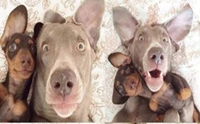 รวมภาพน้องหมาเซลฟี่ (dog selfie)