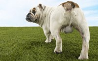 การทำหมันสุนัขเพศผู้โดยไม่ผ่าตัดทำได้จริงหรือ?