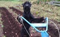 เก่งสุดยอด! สุนัขแสนรู้ปั้มน้ำ ไถดิน ช่วยเจ้าของทำงานเกษตร