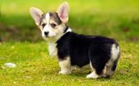 5 ข้อควรระวังในการเลี้ยงดูแลสุนัขขาสั้น