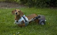 รู้หรือไม่..สุนัขก็เป็นโรคเกี่ยวกับหมอนรองกระดูกสันหลังได้