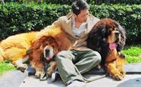 รวมภาพน้องหมาทิเบตัน น้องหมาค่าตัวแพงที่สุดในโลก
