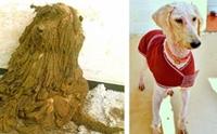 จำแทบไม่ได้! ความเปลี่ยนแปลงสุดทึ่งของสุนัขขนสังกะตังถูกทิ้ง