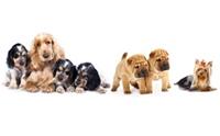 10 สายพันธุ์สุนัขที่มีกลิ่นตัวแรงมากที่สุด