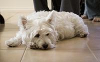 เผย! 10 สายพันธุ์ น้องหมาเสี่ยงเป็นโรคภูมิแพ้ได้ง่าย