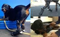 สุนัขพิการ 4 ขาผู้ไม่ยอมแพ้กับการวิ่งบนขาเทียมเป็นครั้งแรก!