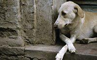 ชีวิตสุดอาภัพ!! 8 โรคร้ายที่หมาข้างถนนต้องเผชิญ (ตอนที่2)