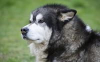 5 โรคสำคัญในสุนัขพันธุ์อลาสกัน มาลามิวท์ ที่ผู้เลี้ยงต้องรู้!!