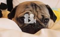 ความน่ารักของน้องหมาพันธุ์ปั๊กที่ใครดูก็ต้องตกหลุมรัก !