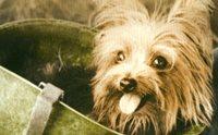 'สโมคกี้' สุนัขบำบัดตัวแรกของโลก ผ่านศึกกว่า 150 สนามรบ