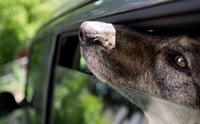 เตือน!! อย่าทิ้งสุนัขไว้ในรถ แม้แง้มกระจกให้...ก็อาจตายได้